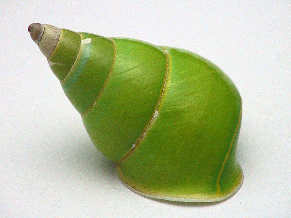 Papustyla pulcherrima - endemic snail from Manus Island