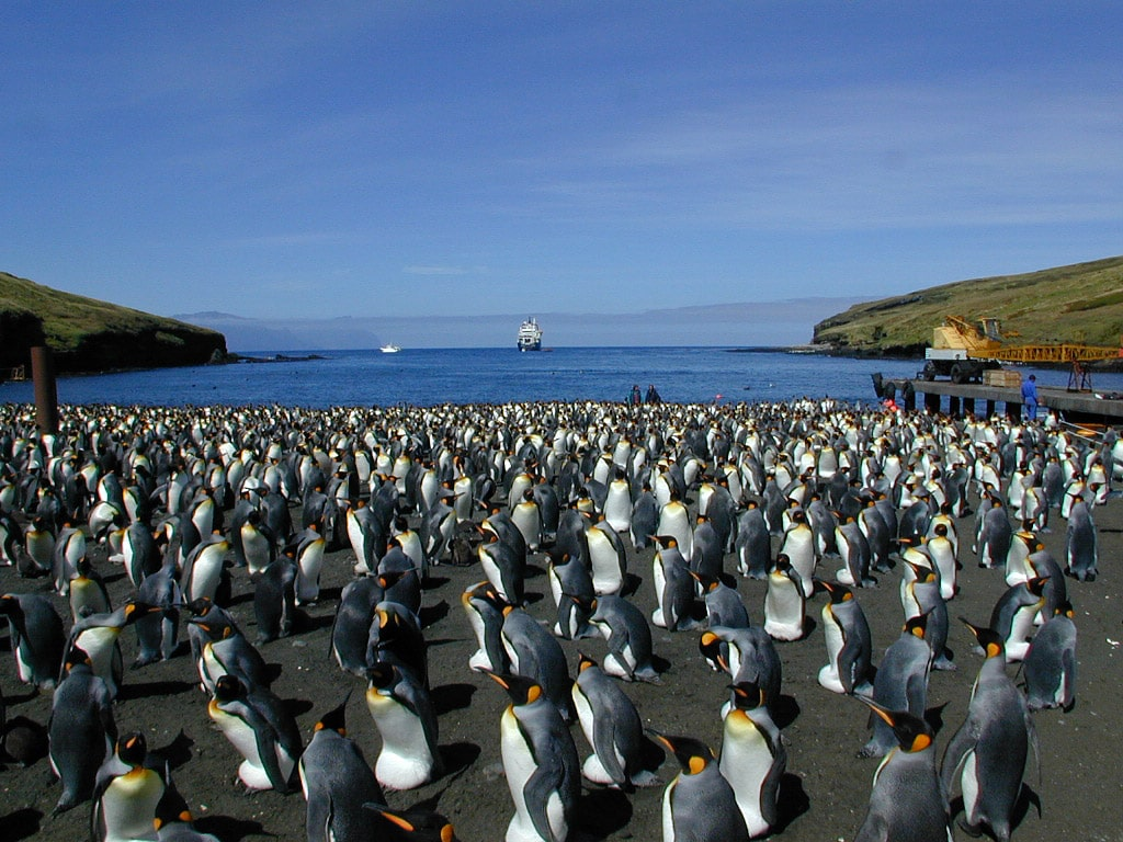 Penguins in Crozet Islands, Possession Island