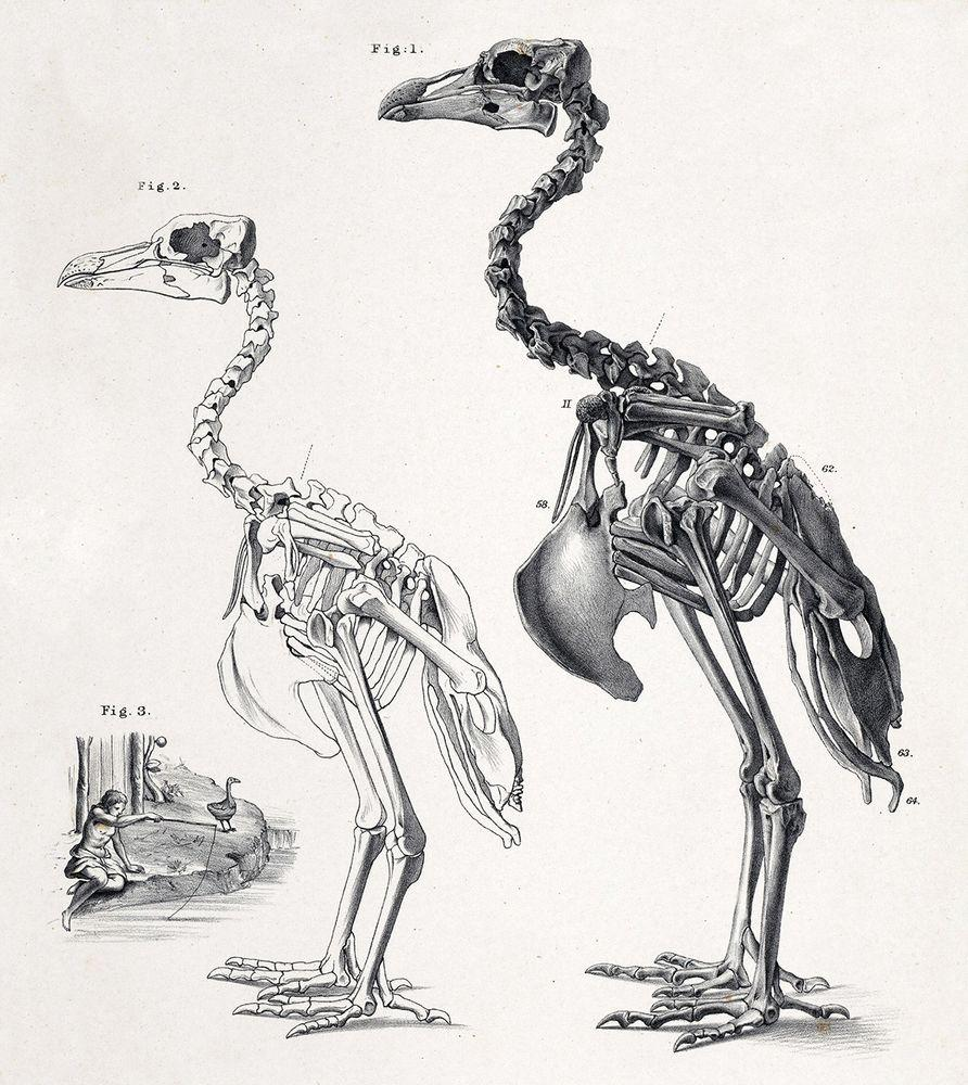 Skeleton of male and female Rodrigues solitaire