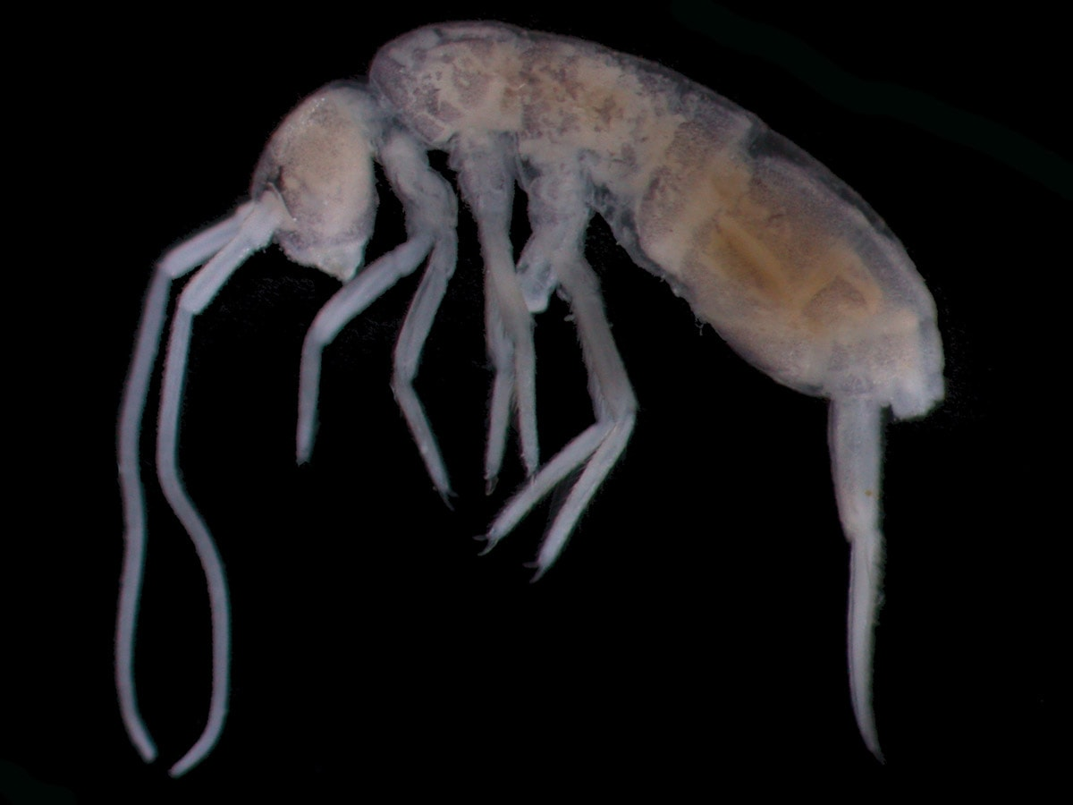 Springtail Plutomurus ortobalaganensis lives only in Krubera Cave. It is the deepest living terrestrial animal on Earth, found at the depth of 1,980 m