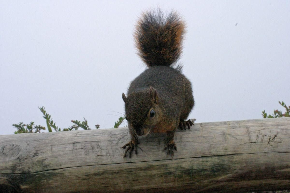 Bangs's mountain squirrel, Poás volcano