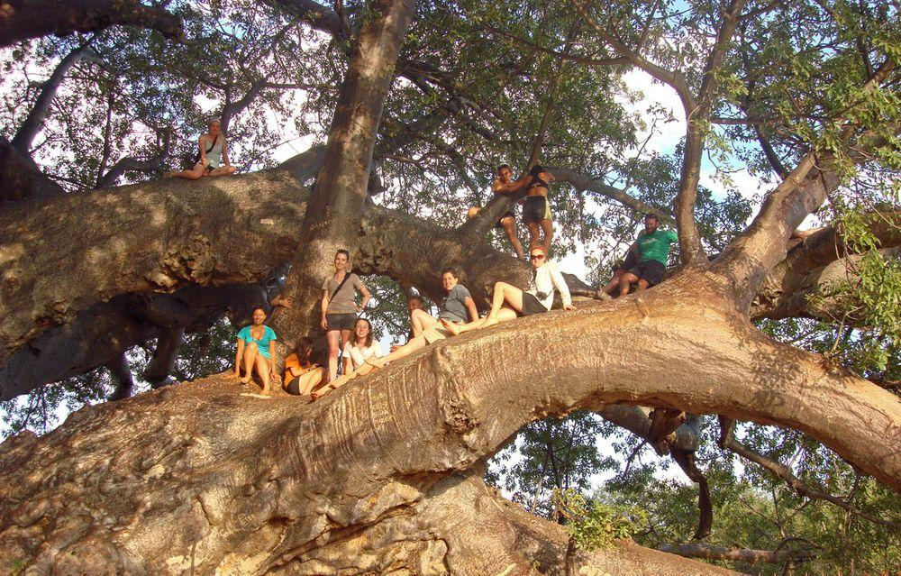 Resting in the branches of Sagole Baobab, South Africa