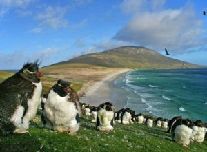 Rockhopper penguins in The Neck of Saunders Island, Falkland Islands