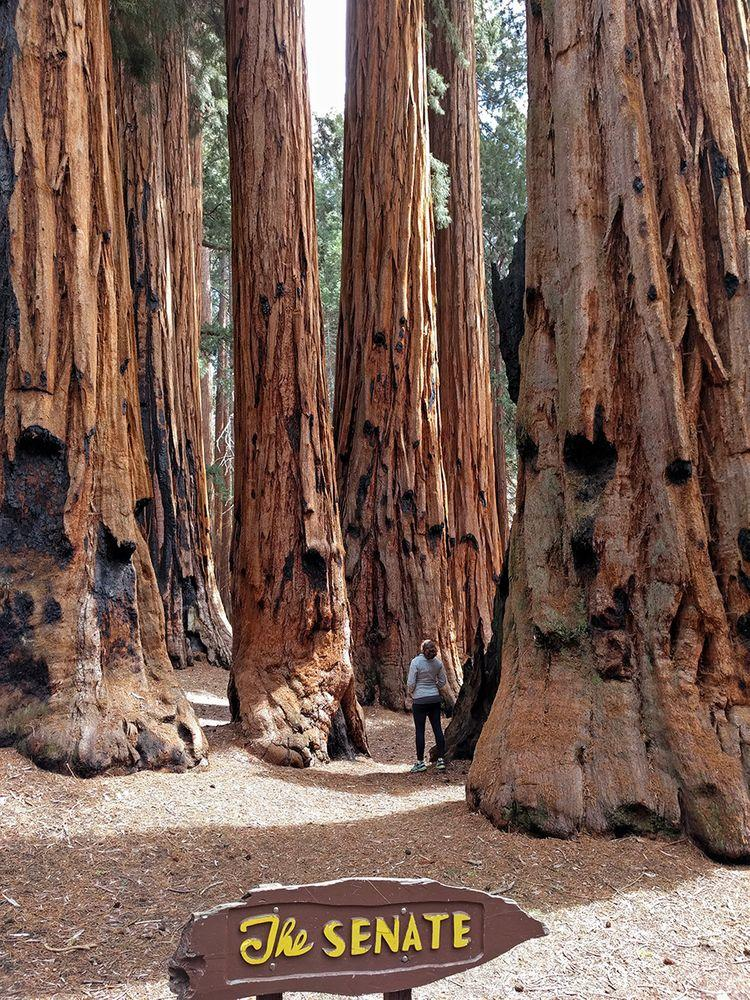 Senate grove in Giant Forest, California