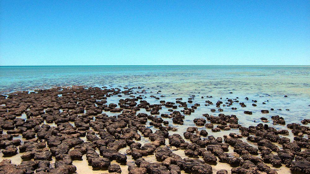 Stromatolites in Shark Bay, Hamelin Pool in Western Australia