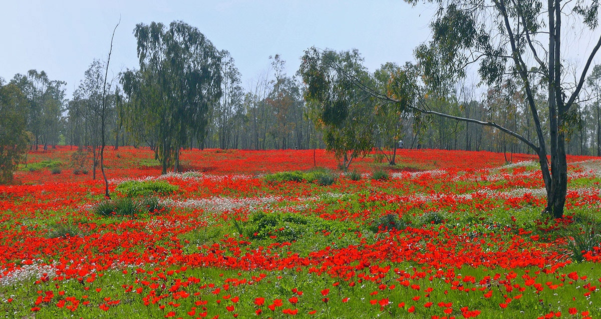 Shokeda Forest in Israel, flowering of anemones