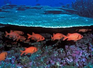 Group of soldierfish, Baker Island