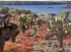 Opuntia trees and Sesuvium cover in South Plaza, Galapagos Islands