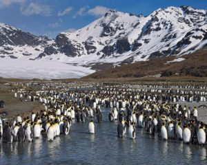 King penguins at St. Andrews Bay