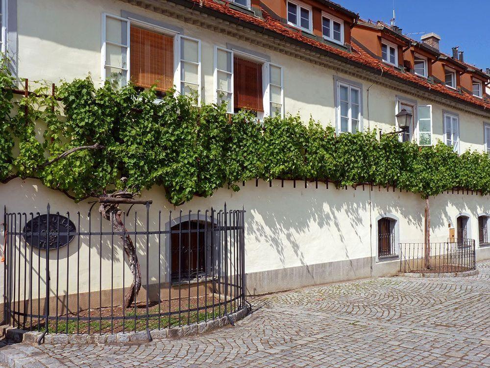 Stara trta - 440 years old grapevine in Maribor, Slovenia