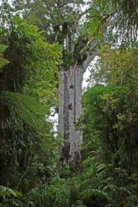 Largest kauri - Tāne Mahuta, Northland, New Zealand