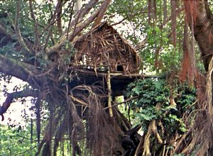 Large banyan in Tanna with ritual house built in the tree. This is not the banyan in Lomteuheaka