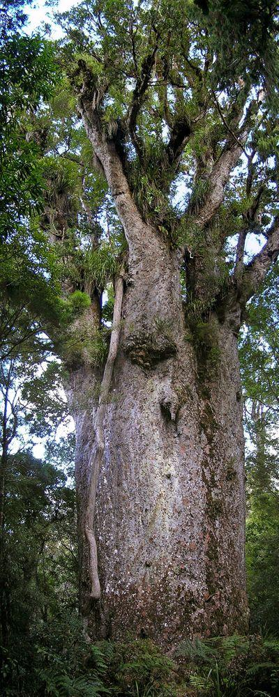 Te Matu Ngahere in New Zealand. This is the stoutest kauri with a girth of 16.76 m