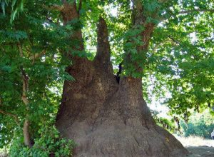 Tnjri - possibly the world's largest plane-tree