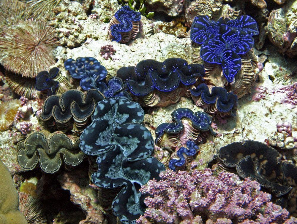 Giant clams in the Kingman Reef lagoon