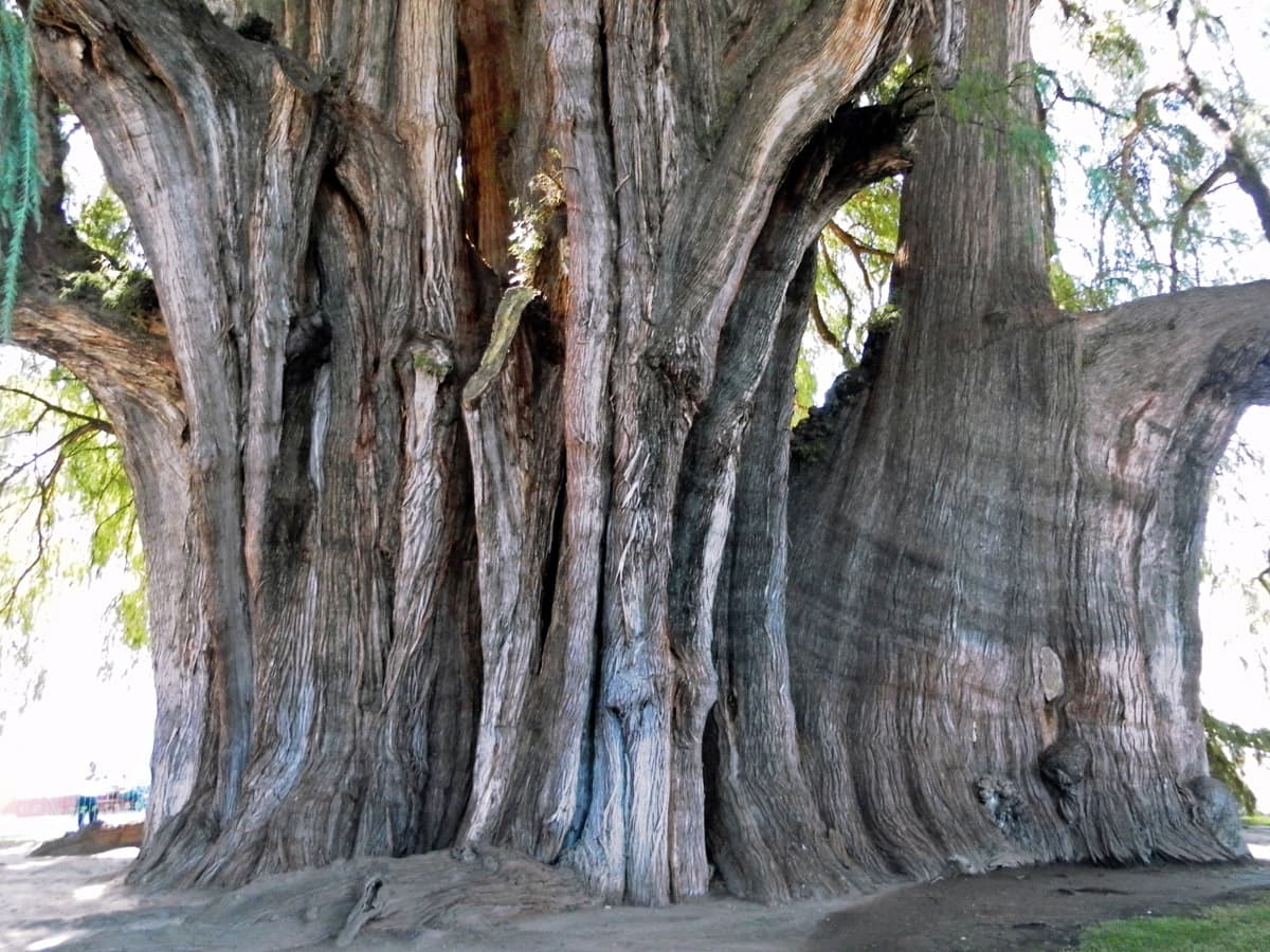 Árbol del Tule, another aspect of trunk which shows that the trunk has elongated form