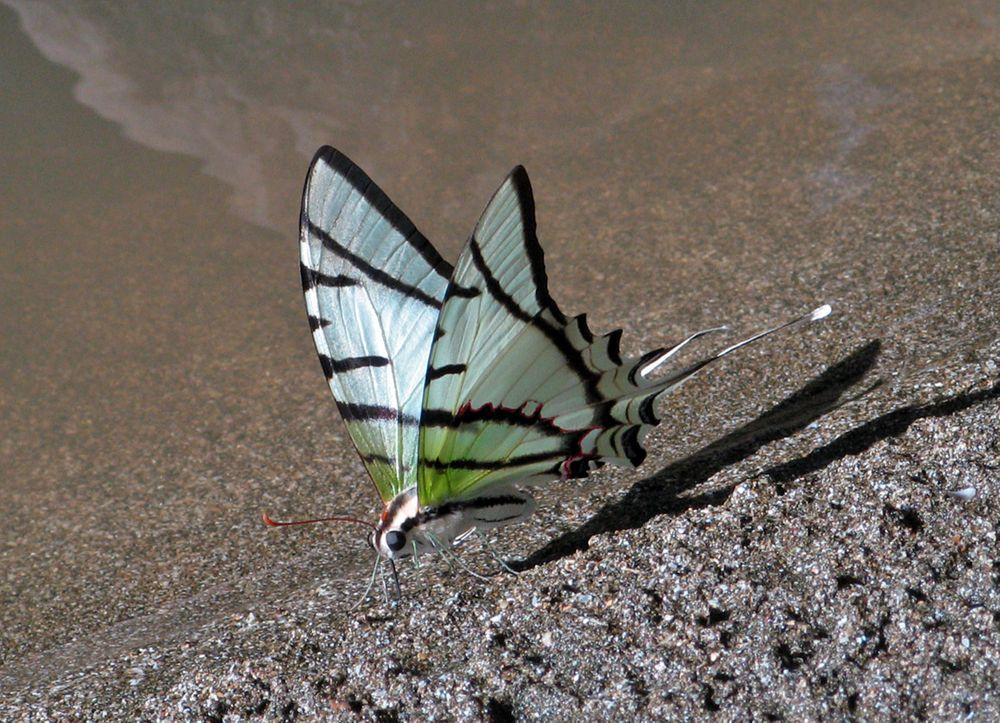 Swallowtail butterfly on Saino Island, Panama