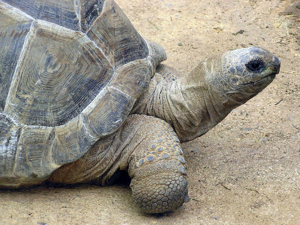 Giant tortoise of Aldabra