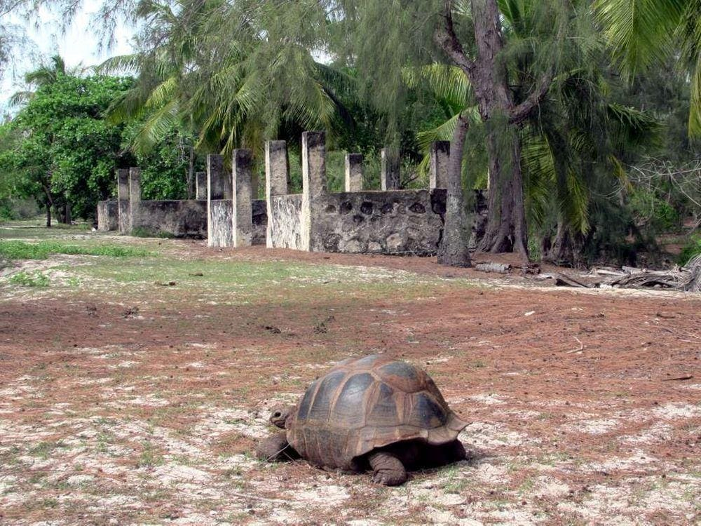 Aldabra giant tortoise and abandoned buildings on Picard Island