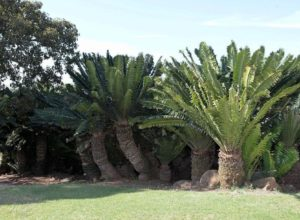 Modjadji cycad forest, South Africa