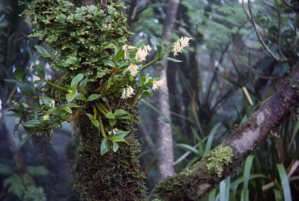 Moorei Orchid, Lord Howe Island
