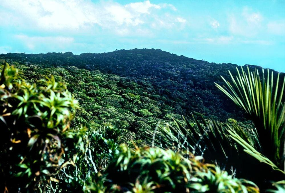 Cloud forest on Mount Gower, Lord Howe Island