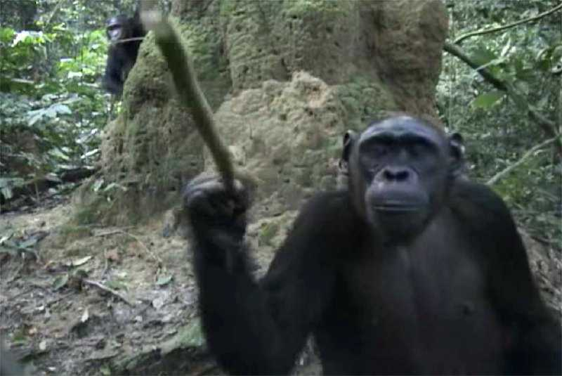 Chimpanzee researching videocamera in Goualougo triangle