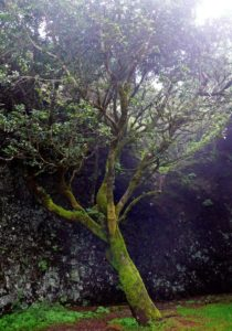 Garoé - younger tree in the site of legendary tree, Canary Islands