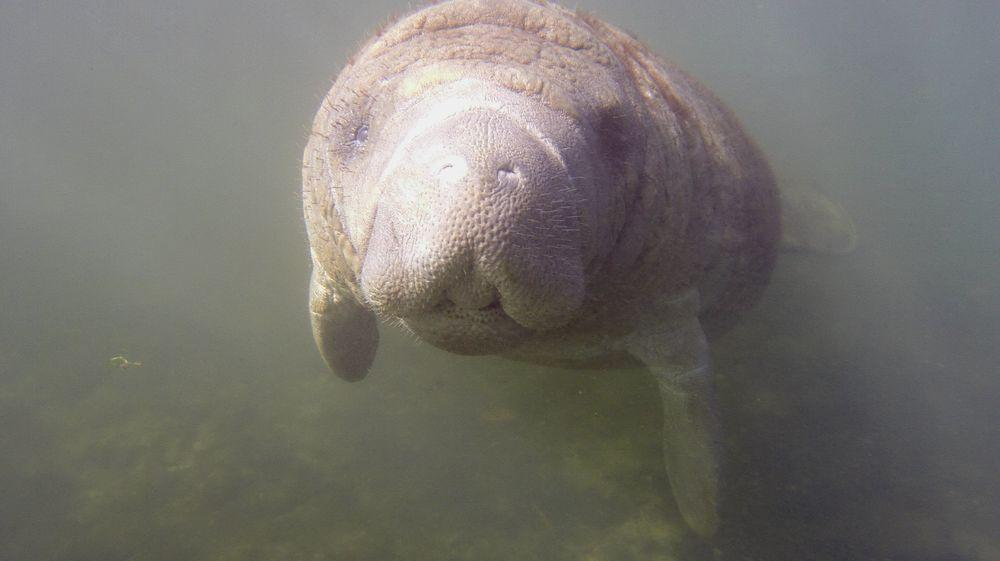Encounter with a manatee in Homosassa River