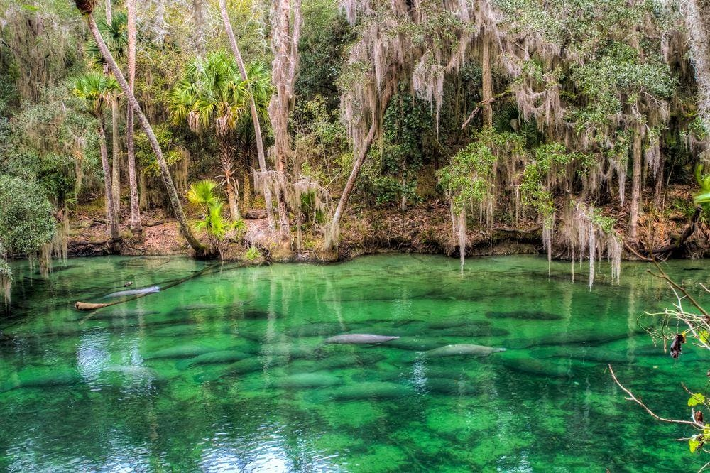 Manatees in Volusia Blue Spring