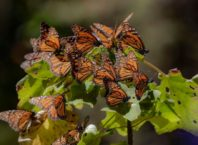 Wintering of monarch butterflies near Angangueo