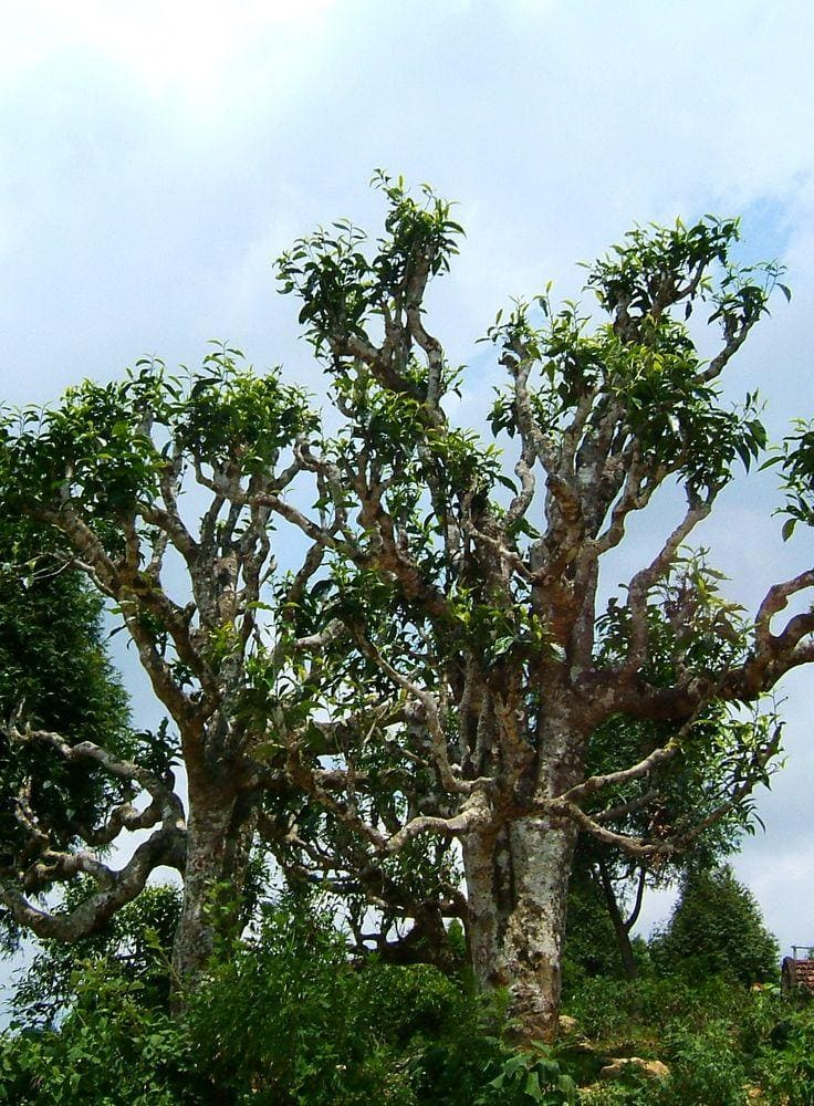 Old tea trees in Suối Giàng