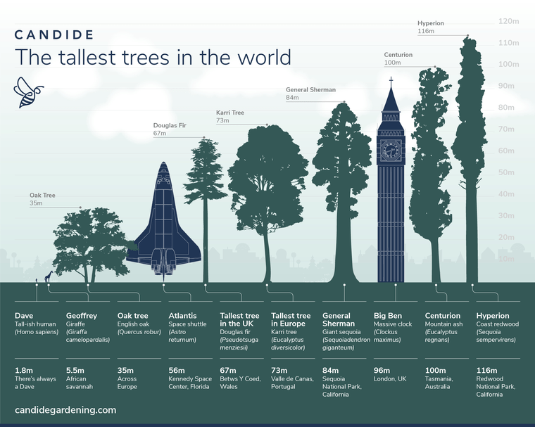 Comparison of some of the tallest trees in the world and some structures