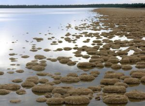 Thrombolites in Lake Clifton