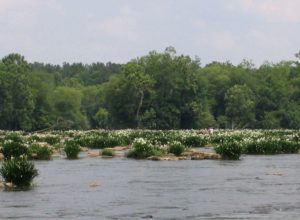 Bloom of spider lilies in Lansford Canal State Park