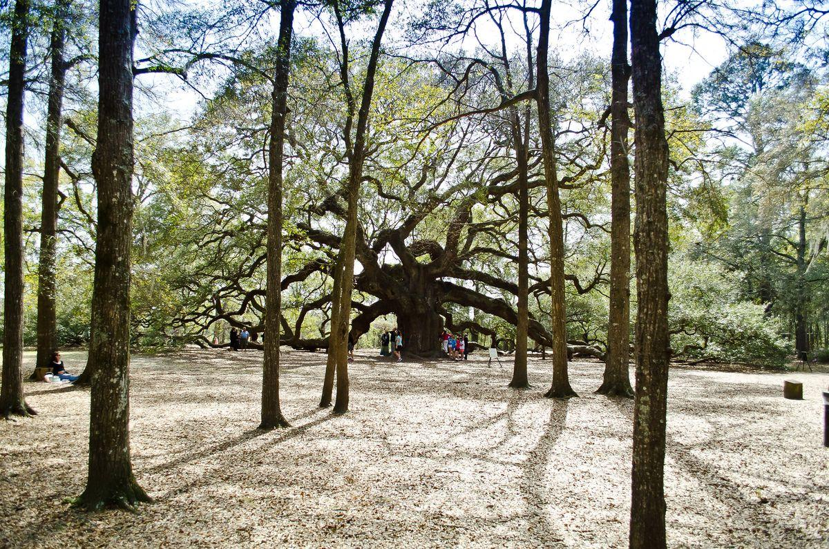 Angel Oak - tree with its own character