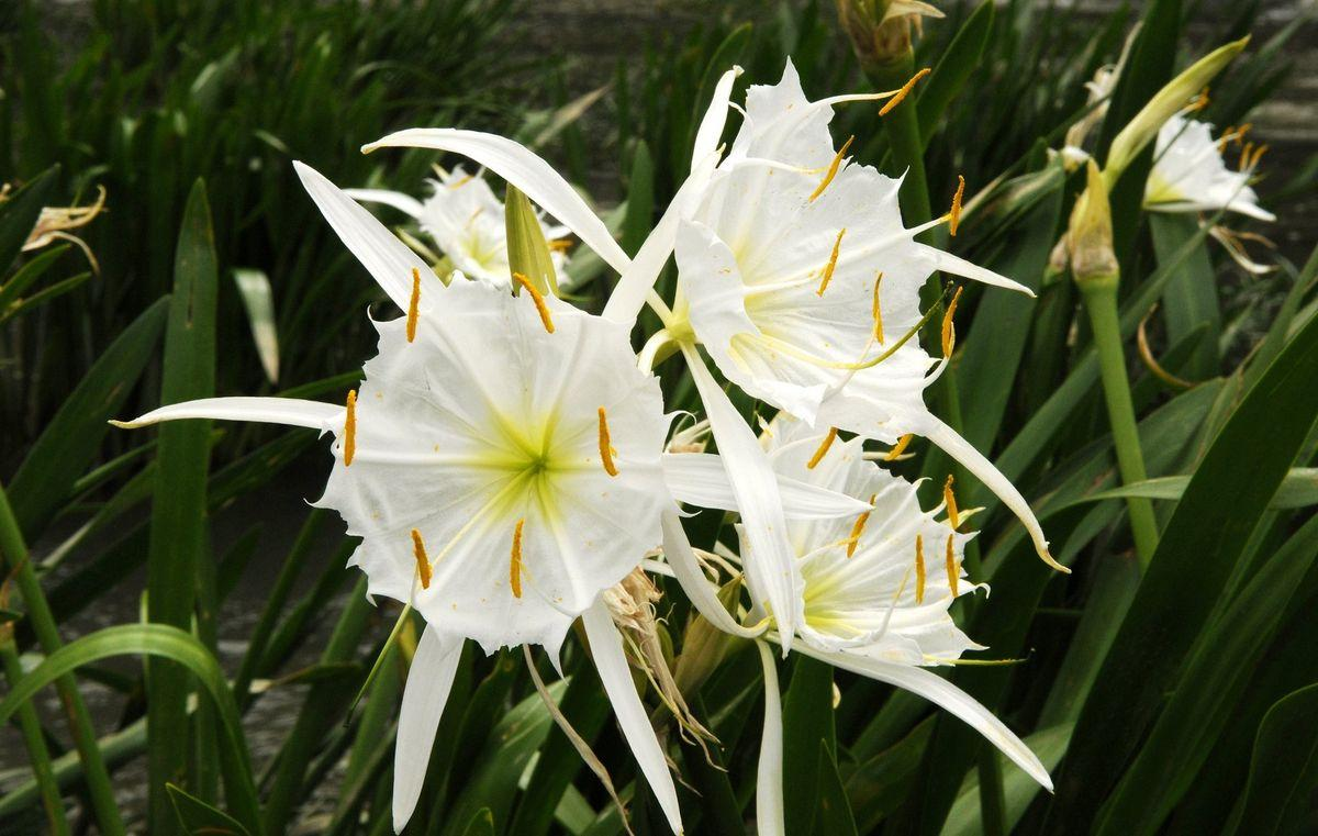 Flowers of Shoals spider-lilies