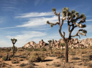 Joshua trees in Lost Horse Valley
