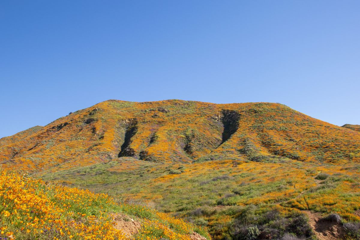 Poppy bloom in Walker Canyon