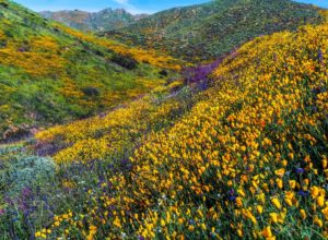 Spring flowers in Walker Canyon