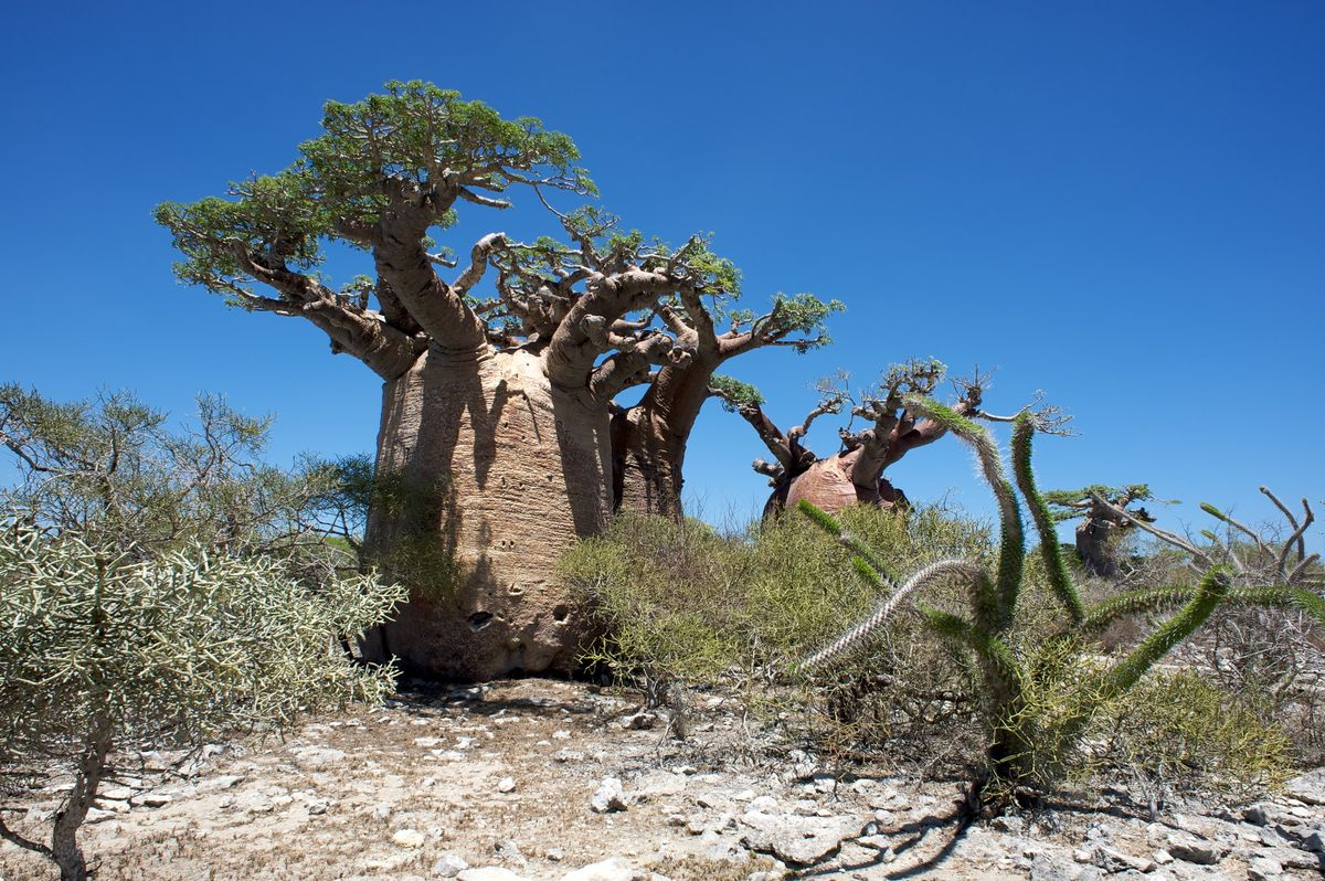 Spiny forest in the south of Madagascar